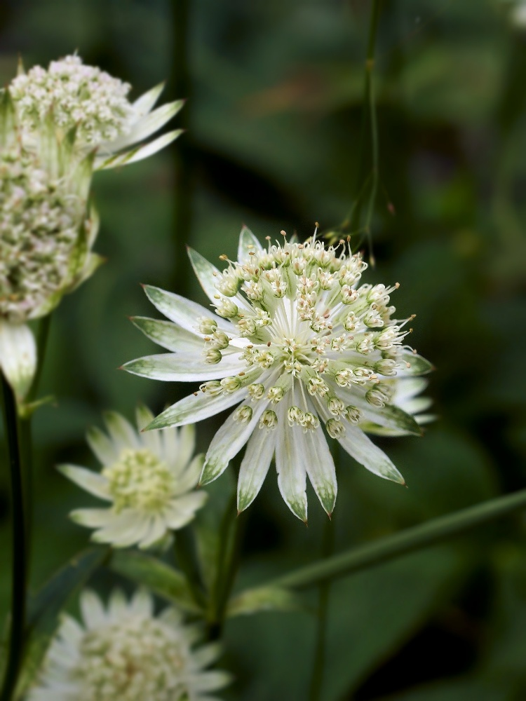 Windeck Astrantia minor